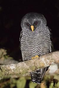 Black-banded Owl at San Isidro Lodge in Ecuador on 2/22/18.