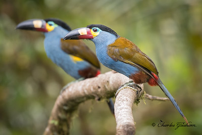A couple of Plate-billed Mountain Toucans (Andigena laminirostris) in the San Tadeo region of Ecuador, July 2, 2018. This lifer has been one of my dream birds for a long time! Huge thanks to my photographer guide Javier Zurita for getting me to the right place at the right time!