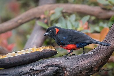 Scarlet-bellied Mountain Tanager (Anisognathus igniventris) in Yanacocha, Ecuador, 7/1/18.