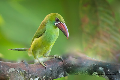Crimson-rumped Toucanette