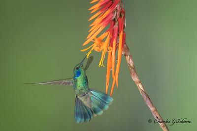Green Violetear (Colibri thalassinus) in Mindo.