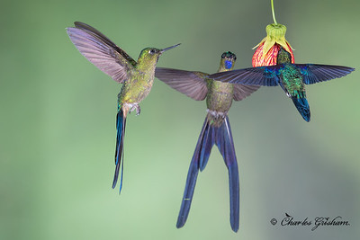 Left: Violet-tailed Sylphs, Right: Green-crowned Woodnymphs.