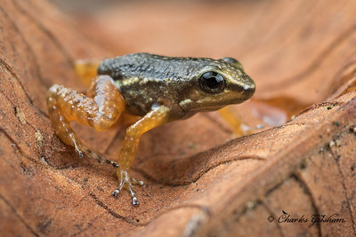 Poison dart frog from La Mana, Ecuador.