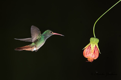 Rufous-winged Hummingbird