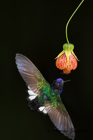 Velvet-purple Coronet at Sachatamia