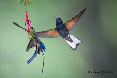 Violet-tailed Sylph (left), Velvet-purple Coronet (right) at Sachatamia