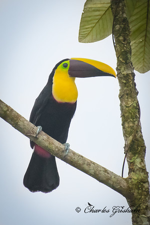 Chestnut-mandibled Toucan from the Silanche Tower in NW Ecuador.