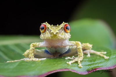 Blue-thighed Rainfrog