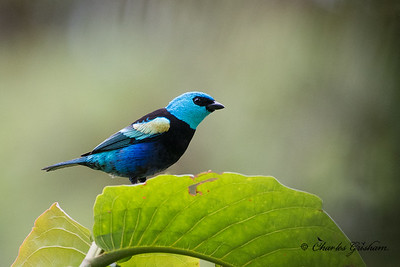 Blue-necked Tanager (Tangara cyanicollis cyanopygia).  Sexes alike.  NW Ecuador.