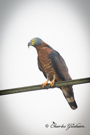 Female Hook-billed Kite (Chondrohierax uncinatus)