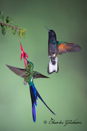 Violet-tailed Sylph (left), Velvet-purple Coronet (right).  Sachatamia