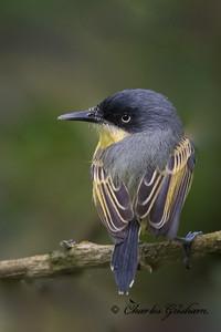 Common Tody-flycatcher, western subspecies, at La mana