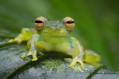 Emerald Glassfrog