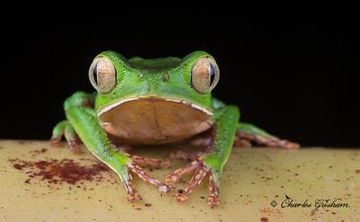 White-lined Monkey Frog