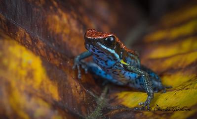Ecuador Poison Dart Frog
