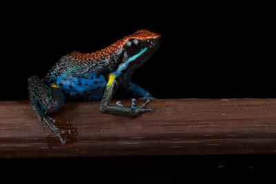 Ecuador Poison Frog