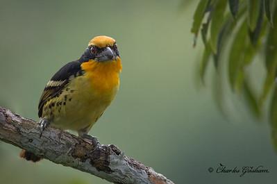 Gilded Barbet. Capito auratus punctatus