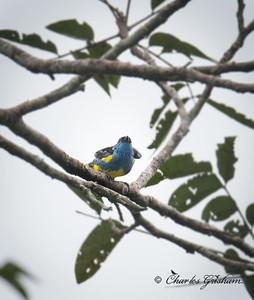 Turquoise Tanager.  Mandi Lodge