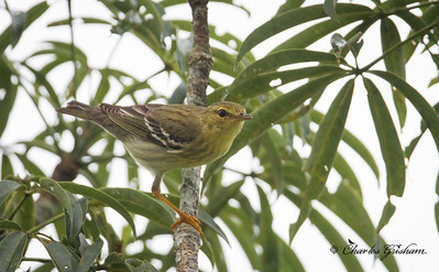 Female, Blackpoll Warbler...was bobbing its tail...