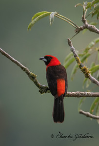 Masked-crimson Tanager