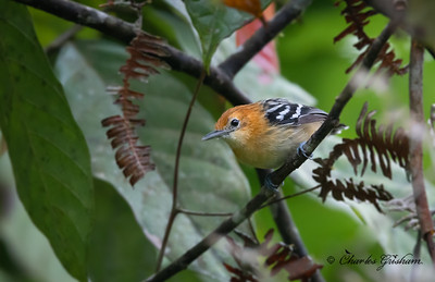 The Pacific Antwren (this one's a female) is a tiny, monotypic bird of the Ecuadorian Choco Rainforest.