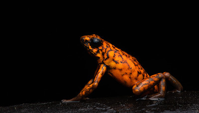 Little Devil Poison Dart Frog. From the Choco rainforest in NW Ecuador. This dude was about an inch long!
