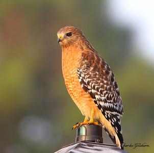 Red-shouldered Hawk in Morning Light