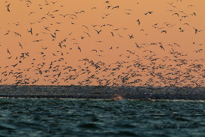Gulls & Terns at sunset off the north coast of Fort Desoto, Florida