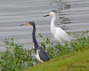 Tri-colored Heron with a Snowy Egret