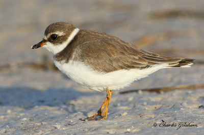 Semipalmated Sandpiper in Florida