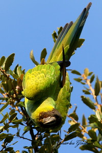 Black-hooded Parakeet