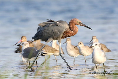 Reddish Egret with Marbled Godwits, Willets...
