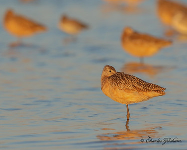 Marbled Godwit at Sunset