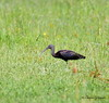 Glossy Ibis /Northeast Florida / JAX - GPS / October 4, 2014