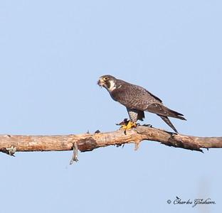 Peregrine Falcon / Northeast Florida / JAX - Castaway Island Preserve / October 6, 2014 / Heavy crop