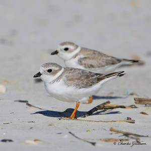 Piping Plover / Northeast Florida / JAX - Little Talbot Island State Park / October 4, 2014