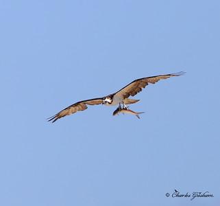 Osprey / Northeast Florida / JAX - Huguenot Memorial Park / October 4, 2014