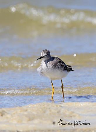 Lesser Yellowlegs / Northeast Florida / JAX - Huguenot Memorial Park / October 4, 2014