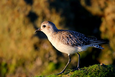 Black-bellied Plover / Southwest Florida / Casperson Beach State Park / October 9, 2014 / Early morning light