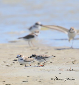 Wilson's Plover / Northeast Florida / JAX - Huguenot Memorial Park / October 4, 2014ot