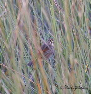 Seaside Sparrow / Northeast Florida / JAX - Theodore Roosevelt Park / October 4, 2014