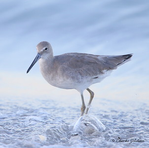 Willet / Southwest Florida / Casperson Beach State Park / October 4, 2014 / Early morning light