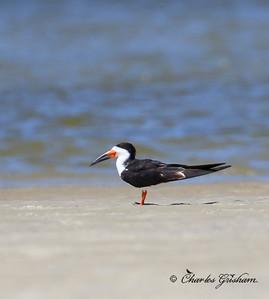 Black Skimmer / Northeast Florida / JAX - Huguenot Memorial Park / October 4, 2014