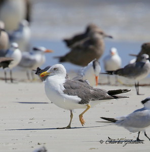Lesser Black-backed Gull / Northeast Florida / JAX - Huguenot Memorial Park / October 4, 2014