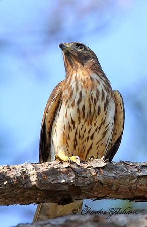 Cooper's Hawk / Northwest Florida / Saint Andrews State Park / October 11, 2014 / Early morning light