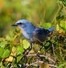Florida Scrub Jay / Southwest Florida / Casperson Beach Park / October 9, 2014 / Morning light