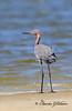 Reddish Egret / Northeast Florida / JAX - Huguenot Memorial Park / October 4, 2014