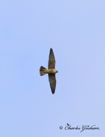 Peregrine Falcon / Southwest Florida / Oscar Scherer State Park / October 8, 2014 / Heavy crop!