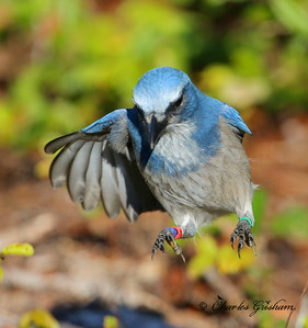 Florida Scrub Jay / Southwest Florida / Casperson Beach Park / October 9, 2014 / Morning light