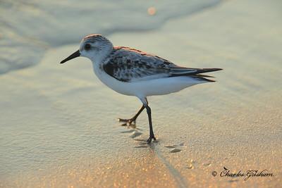 Sanderling / Northwest Florida / Saint Andrews State Park / October 11, 2014 / Early morning light